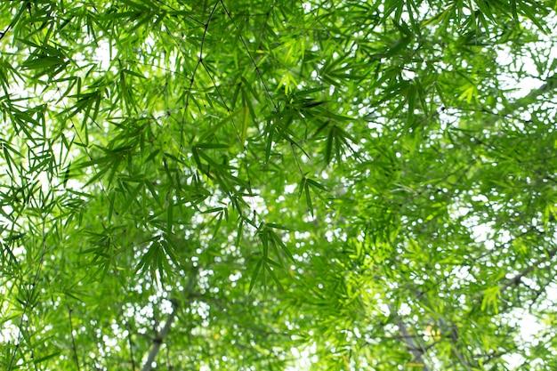 Le foglie di bambù naturali nella foresta di bambù da sotto le viste progettano per fondo verde