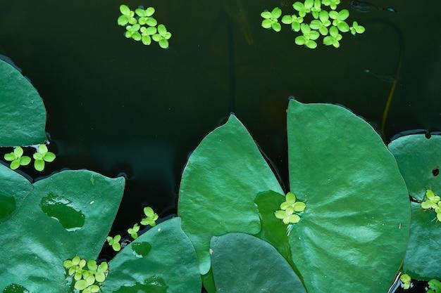 Le foglie di loto sull'acqua sorgono la vista superiore nel fondo della natura di eco