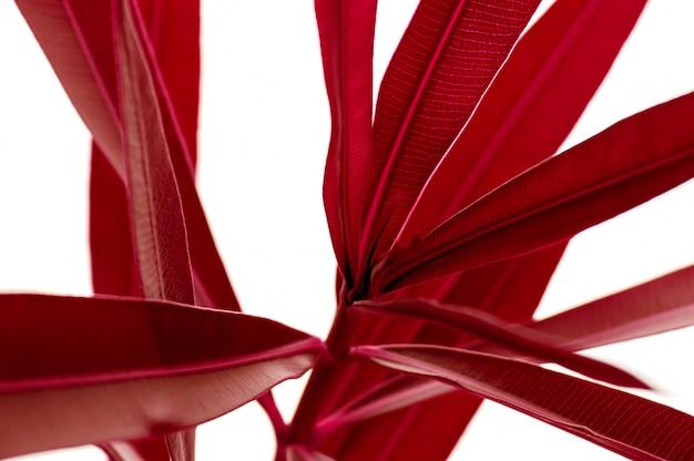 Le foglie rosse della pianta tropicale si chiudono su isolato su fondo bianco. natura creativa ad alto contrasto.