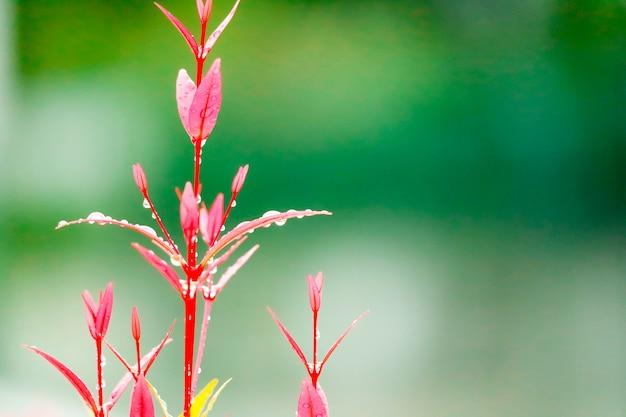 Le foglie rosse di christina crescono dopo che la pioggia è caduta diversi giorni