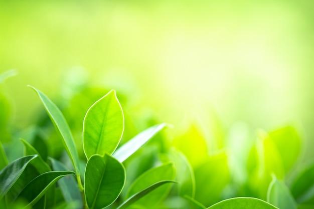 Le foglie verdi del primo piano sul fondo della sfuocatura della pianta per naturale e la freschezza tappezzano il concetto