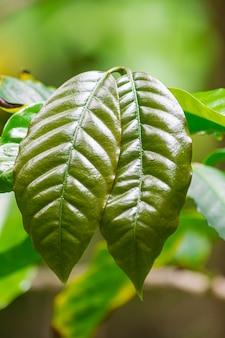Le foglie verdi di coffea arabica chiudono la vista