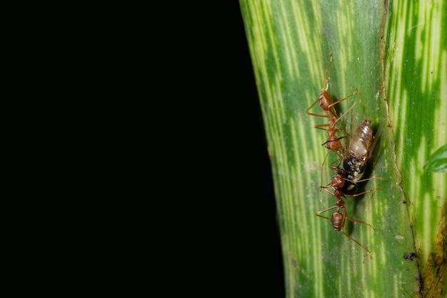 Le formiche a macroistruzione sono sulla foglia