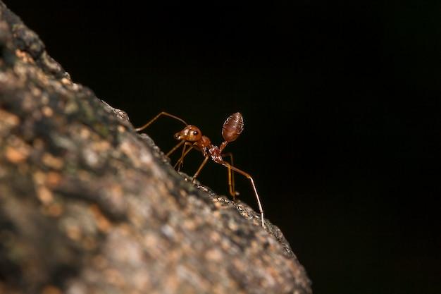 Le formiche rosse sono sull'albero.