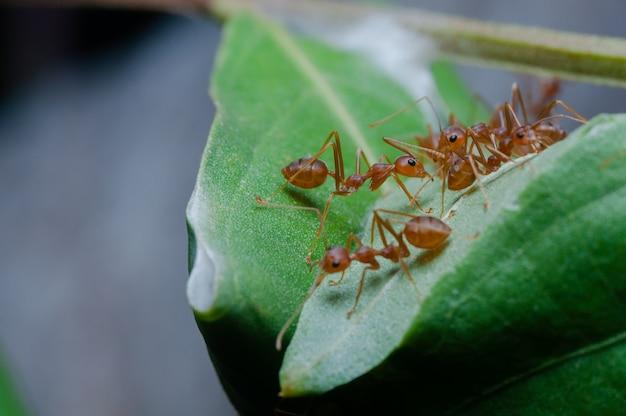 Le formiche rosse sono sulle foglie