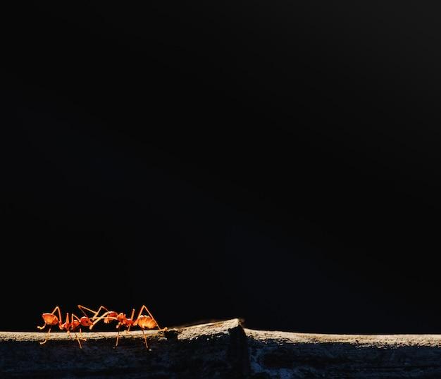 Le formiche si arrampicano sui rami e sullo sfondo scuro