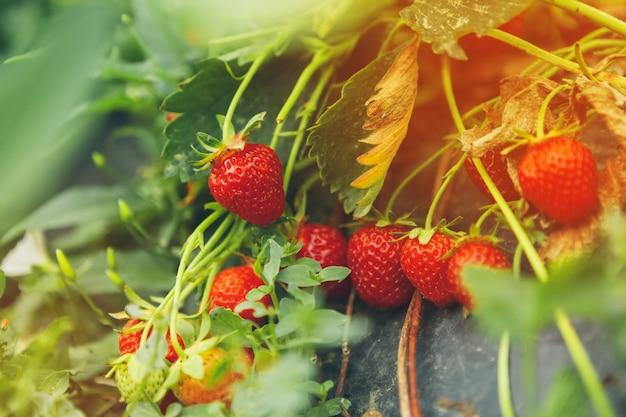Le fragole sulla fine della pianta di fragola in su di mattina si accendono