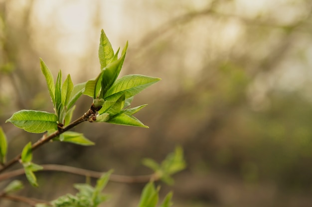 Le giovani foglie della molla sui rami copiano lo spazio. reni in fiore.