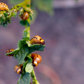 Le larve dello scarabeo di patata del colorado mangiano la foglia di giovane patata