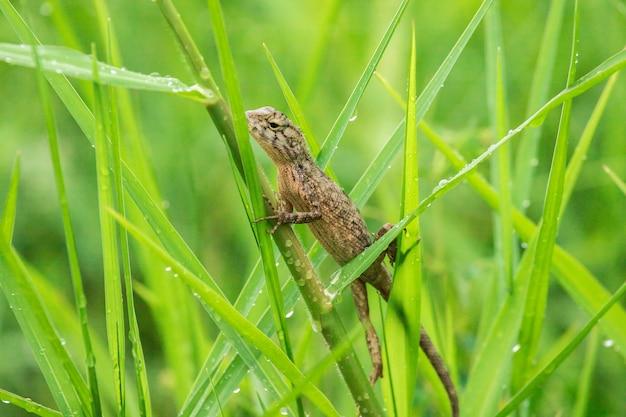 Le lucertole gialle sono sull'erba in natura.