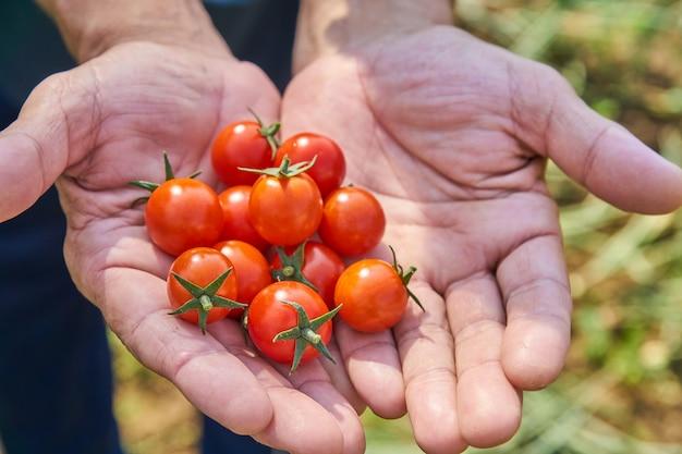 Le mani del maschio che raccolgono i pomodori freschi nel giardino in un giorno soleggiato. coltivatore che raccoglie i pomodori organici. concetto di coltivazione di ortaggi.