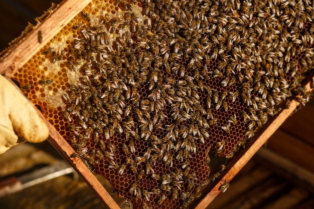 Le mani del primo piano dell'apicoltore tengono la struttura di legno con il favo, raccolgono il miele, concetto di apicoltura,