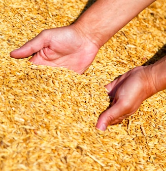 Le mani dell'agricoltore che tengono la raccolta del grano.