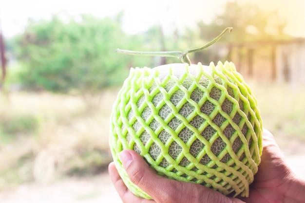 Le mani dell'agricoltore che tengono melone fresco. concetto di agricoltura frutta sana