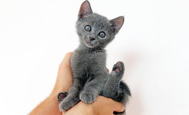 Le mani dell'uomo che tengono il gattino grigio sveglio su fondo bianco. ritratto del gattino blu russo a casa.