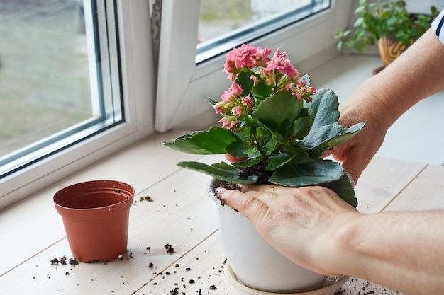 Le mani della donna trapiantano una pianta domestica in un nuovo vaso