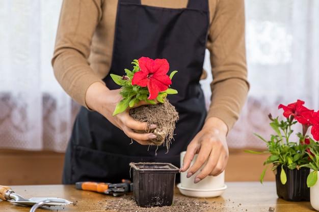 Le mani della ragazza che prendono la petunia fioriscono dal vaso del semenzale prima di piantare il primo piano
