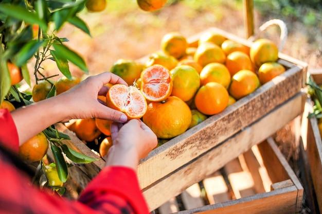 Le mani e le arance degli agricoltori arancioni stanno raccogliendo. le arance sono deliziose