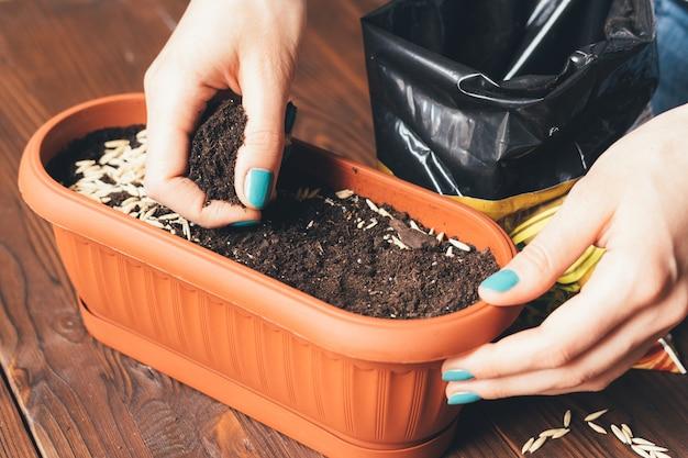 Le mani femminili con le mani di un manicure brillante stanno seminando grano e terra in una pentola per piante crescenti