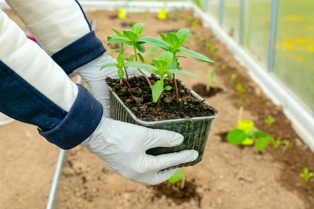 Le mani femminili stanno piantando piantine di zinnia flowr nel terreno. concetto di agricoltura e giardinaggio.