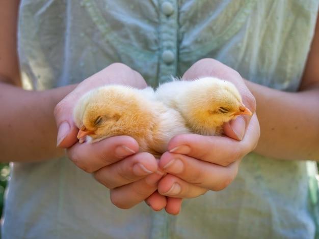 Le mani femminili tengono un pulcino nell'allevamento di polli.
