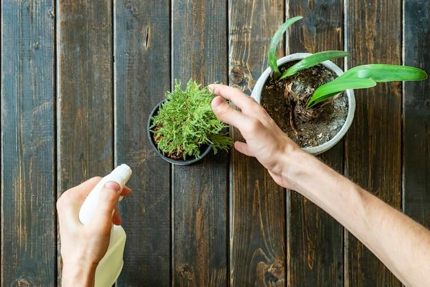 Le mani tengono un vaso della pianta domestica sulla vista superiore della superficie di legno