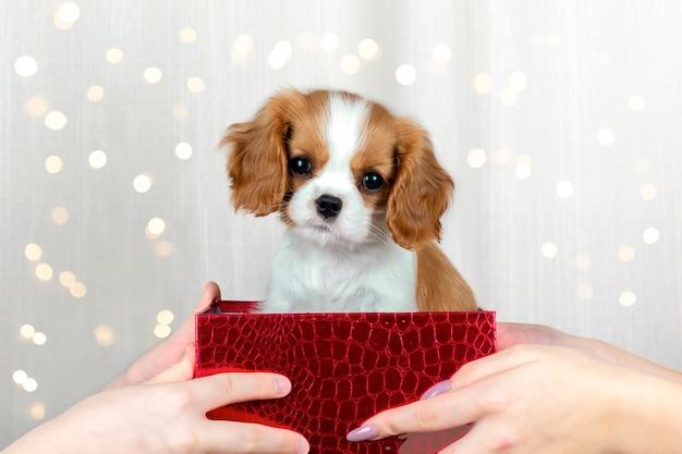 Le mani tengono una confezione regalo con un simpatico cucciolo di razza cavalier king charles spaniel