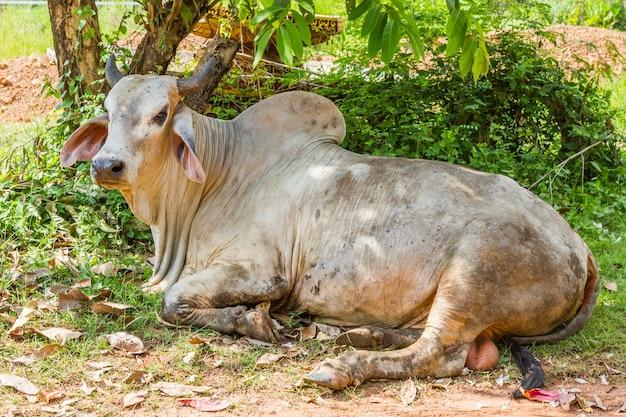 Le mucche che riposano sotto l'albero e un sacco di volare su di esso faccia