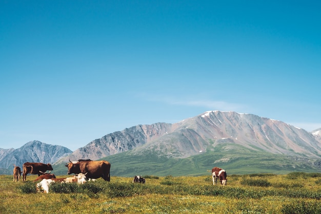 Le mucche pascolano in pascolo in valle contro le montagne giganti meravigliose nel giorno soleggiato.