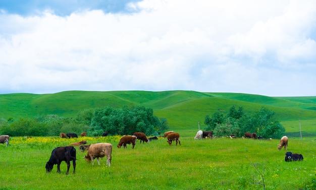 Le mucche pascolano nel prato