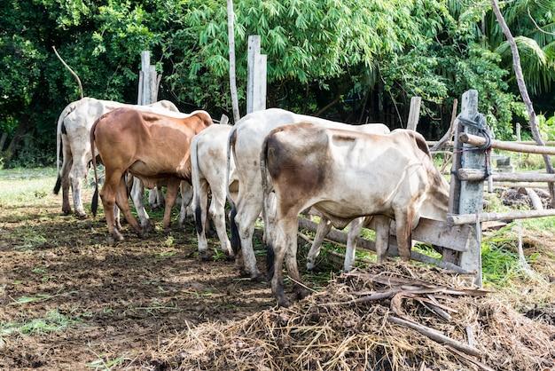 Le mucche pascolano