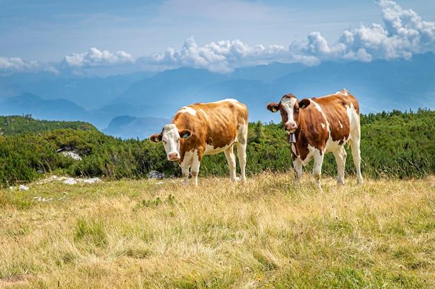Le mucche su un picco di montagna pascolano allo stato brado
