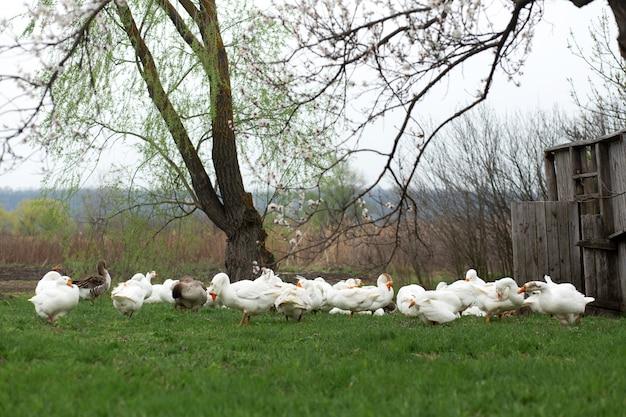 Le oche stanno camminando in primavera nel villaggio sul prato con erba verde fresca sul di un albero in fiore