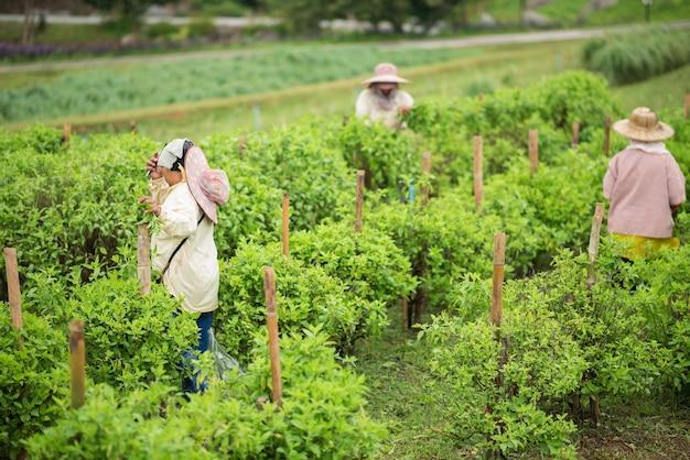 Le operaie che selezionano vegetatbles alla fattoria