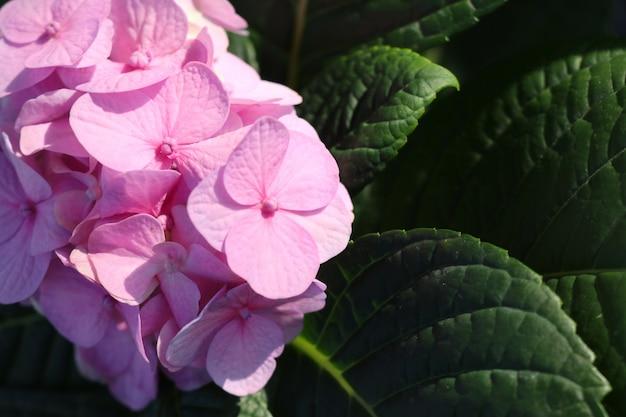 Le ortensie fioriscono in tropicale