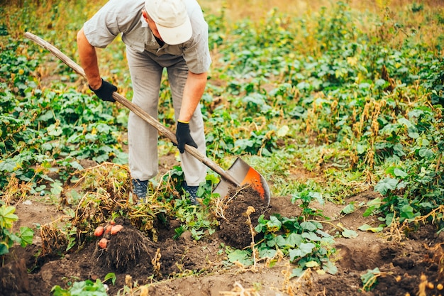 Le patate fresche scavano da terra nella fattoria. raccolta delle patate.