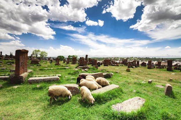 Le pecore pascolano a noratus