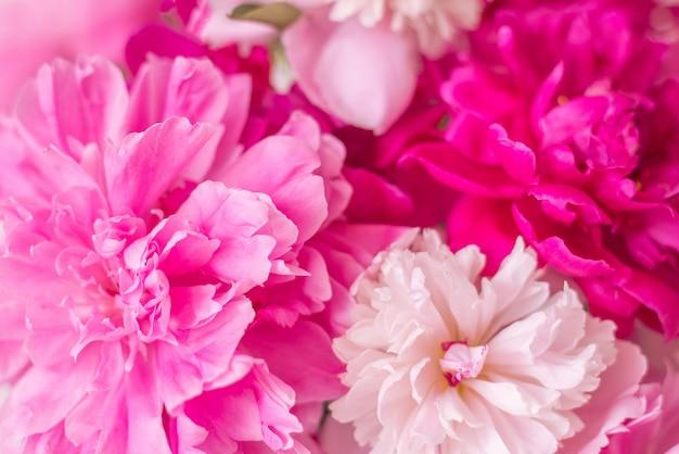 Le peonie rosa e bianche si chiudono su