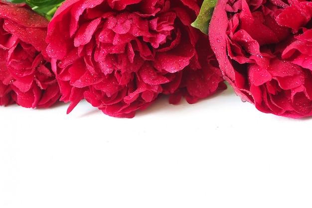 Le peonie rosso scuro in gocce d'acqua si trovano su bianco