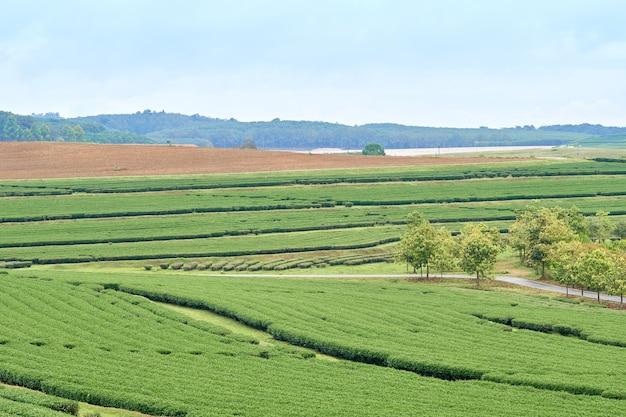 Le piantagioni di tè si trovano su un'altura. il tempo è buono per la crescita.