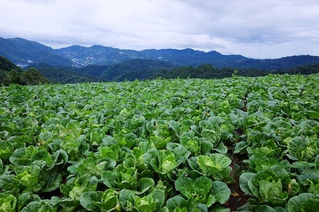 Le piante di cavolfiore e il campo agricolo del cavolo sono terreni agricoli che crescono sulle montagne