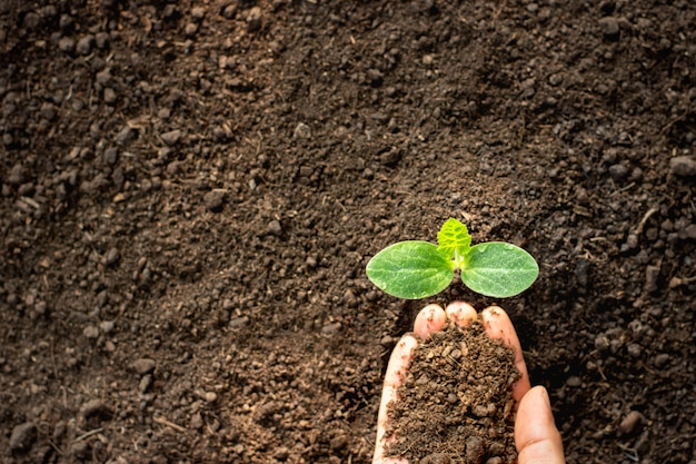 Le piantine di zucca crescono mentre le mani dell'uomo versano il terreno.