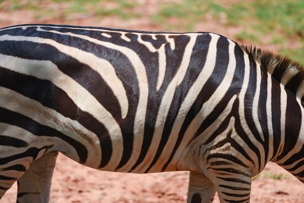 Le pianure africane della zebra reale del modello della zebra pascono il campo di erba nel parco nazionale