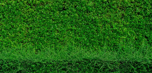 Le piccole foglie verdi strutturano il fondo con il bello modello. pianta ornamentale in giardino. eco wall. sfondo naturale. giardino tropicale.