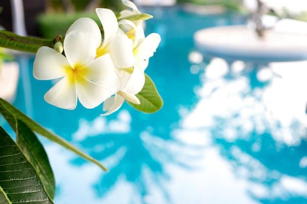 Le plumerie fioriscono sull'albero, fondo essere piscina