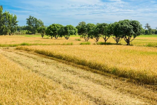 Le risaie vengono raccolte con coltivatori di riso.