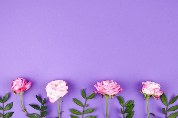 Le rose rosa sistemano su fondo porpora in una fila