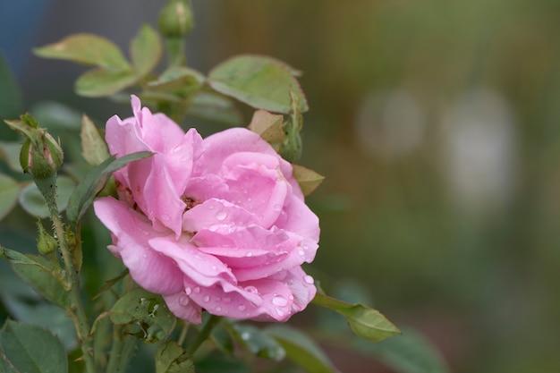 Le rose rosa sono in piena fioritura nelle gocce del mattino