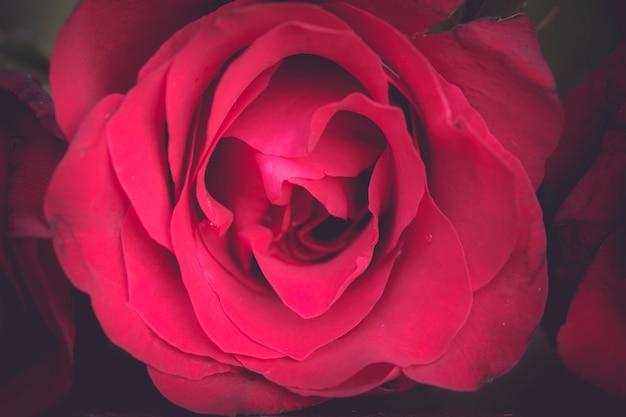 Le rose rosse si chiudono