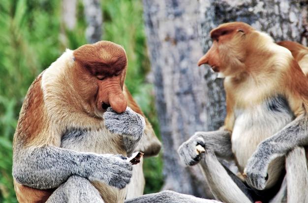 Le scimmie dal naso prendono un pranzo